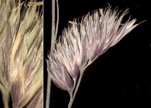 Dactylis glomerata L. subsp. slovenica (Domin) Domin