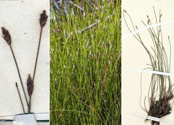Eleocharis multicaulis (Sm.) Desv.