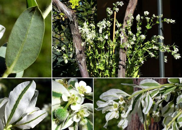 Euphorbia marginata Pursh
