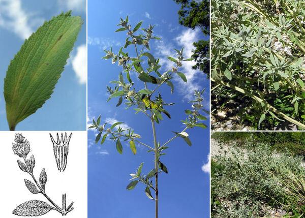 Marrubium peregrinum L.