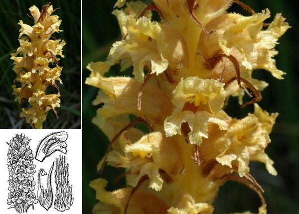 Orobanche laserpitii-sileris Reut. ex Jord.