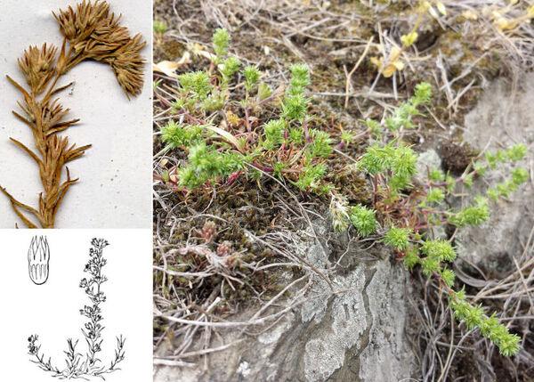 Scleranthus verticillatus Tausch