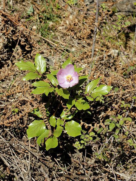 Paeonia morisii Cesca, Bernardo & N.G.Passal.