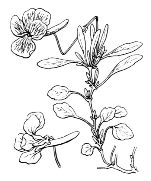 Viola corsica Nyman