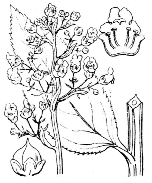 Scrophularia oblongifolia Loisel.