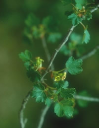 Ribes sardoum Martelli