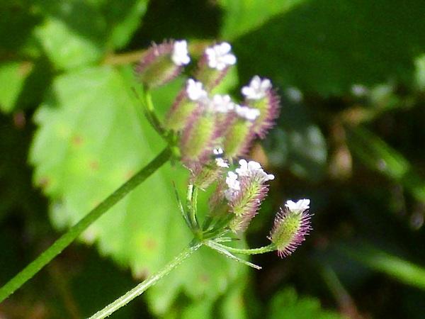 Chaerophyllum nodosum (L.) Crantz