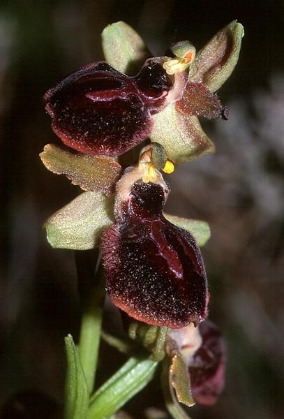 Ophrys passionis Sennen ex Devillers-Tersch. & Devillers s.l.