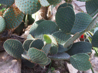 Opuntia tuna (L.) Mill.