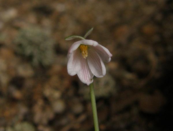 Acis rosea (F.Martin bis) Sweet