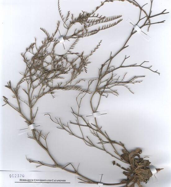 Limonium glomeratum (Tausch) Erben