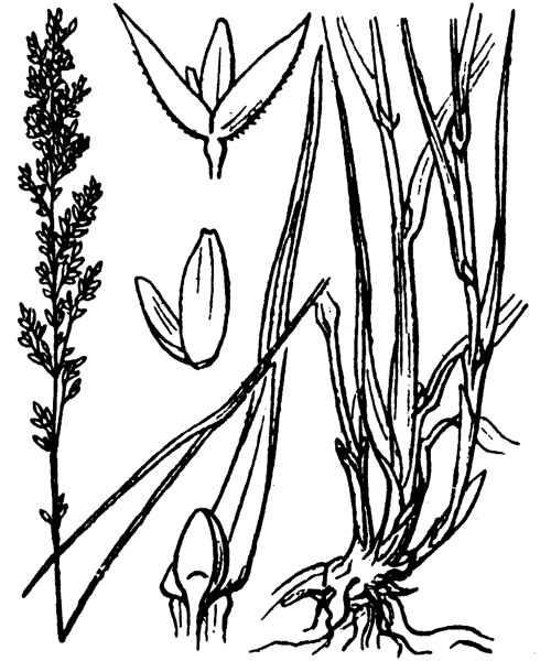 Agrostis stolonifera L. subsp. maritima (Lam.) Vasc.