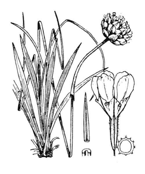 Armeria gracilis Ten. subsp. majellensis (Boiss.) Arrigoni