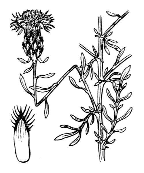 Centaurea leucophaea Jord.