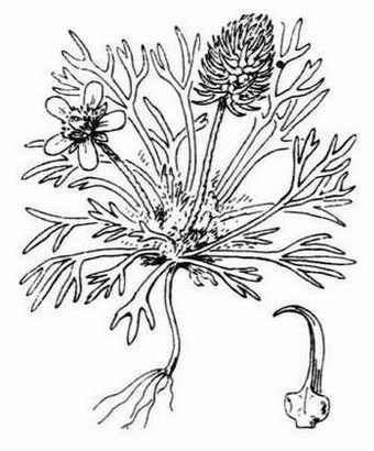 Ceratocephala falcata (L.) Cramer