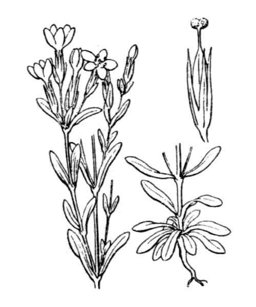 Centaurium tenuiflorum (Hoffmanns. & Link) Fritsch