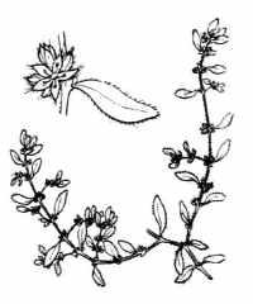 Herniaria hirsuta L.