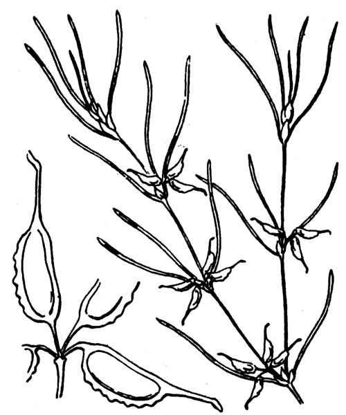 Zannichellia pedunculata Rchb.