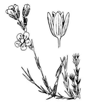 Cherleria laricifolia (L.) Iamonico