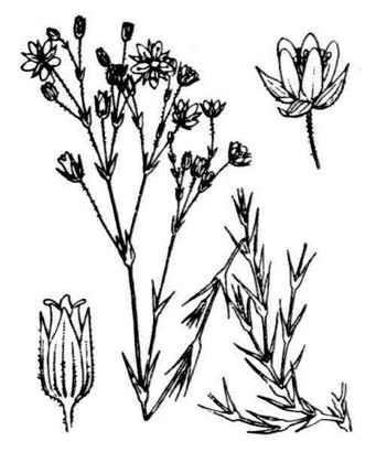 Sabulina verna (L.) Rchb.