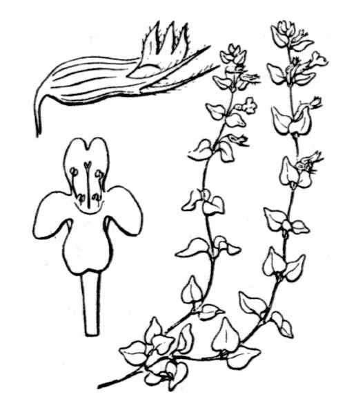 Micromeria filiformis (Aiton) Benth. subsp. filiformis