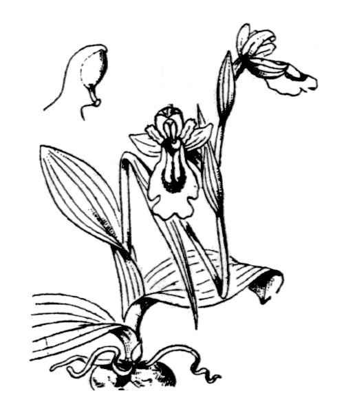 Ophrys lutea Cav. s.l.