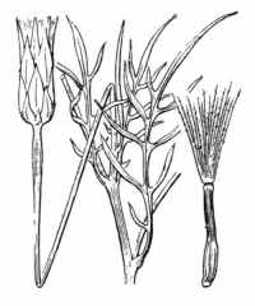 Podospermum laciniatum (L.) DC.
