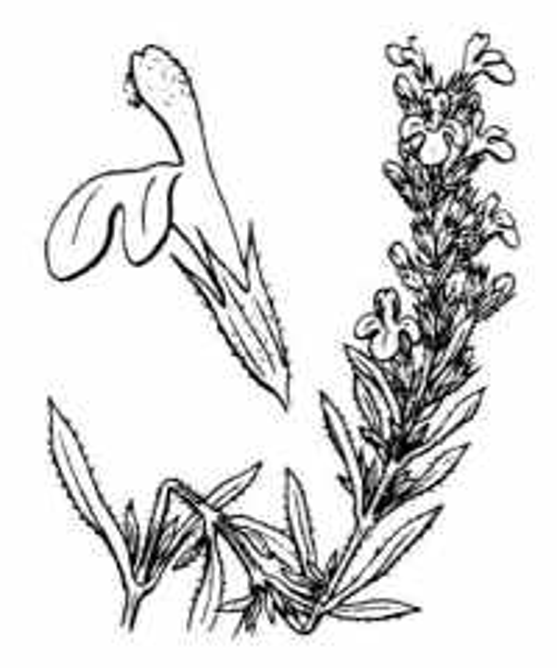 Satureja montana L.