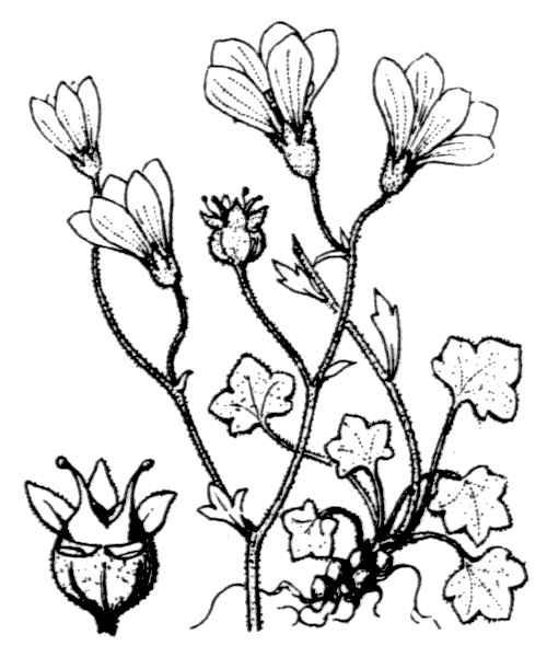 Saxifraga corsica (Ser. ex Duby) Gren. & Godr. subsp. corsica