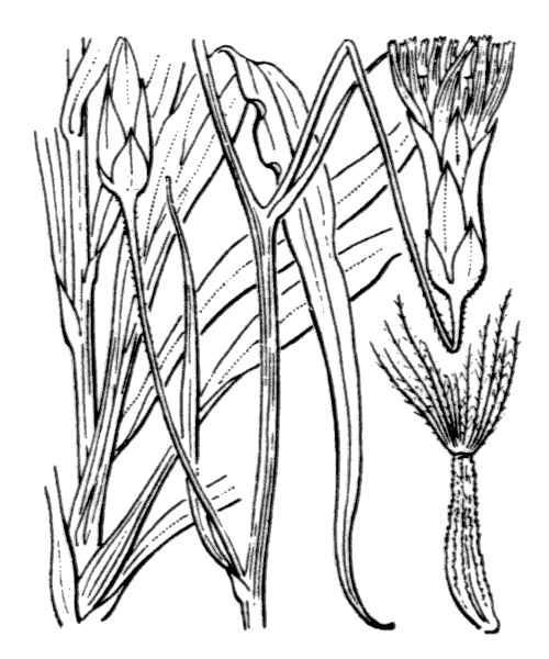 Pseudopodospermum hispanicum (L.) Zaika, Sukhor. & N.Kilian