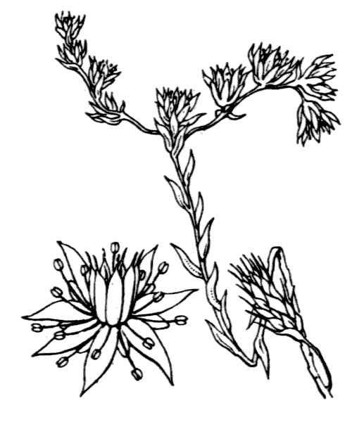Petrosedum amplexicaule (DC.) Velayos subsp. anomalum (Lag.) L.Gallo
