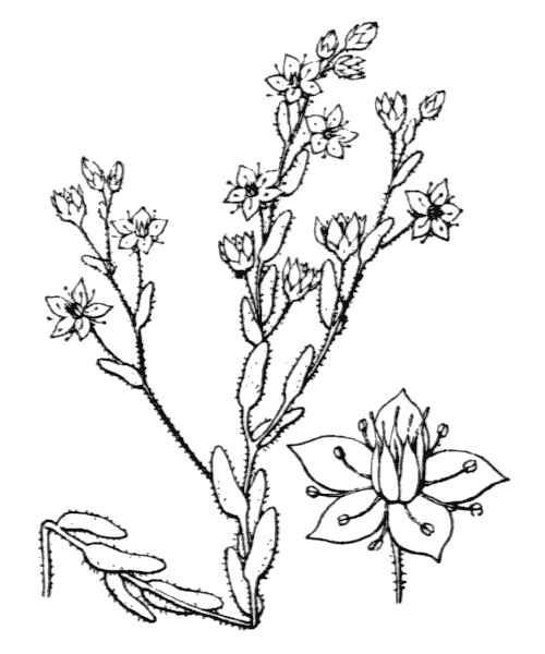 Sedum villosum L.