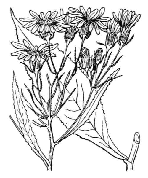 Senecio nemorensis L. subsp. jacquinianus (Rchb.) Čelak.