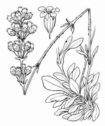 Silene otites (L.) Wibel