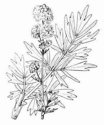 Thalictrum simplex L.