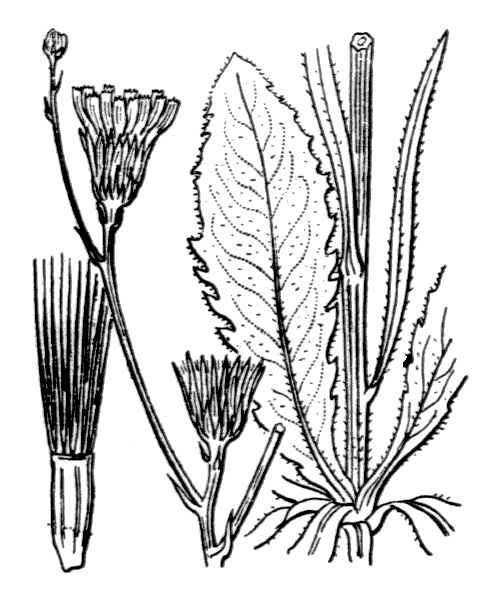 Tolpis virgata (Desf.) Bertol.