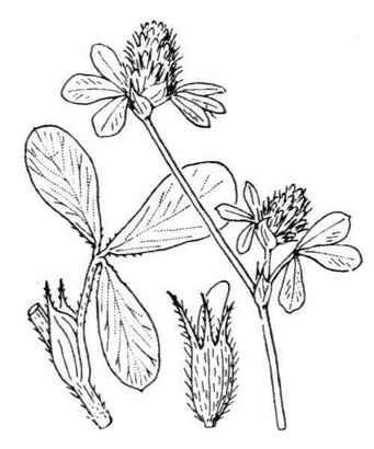 Trifolium striatum L.