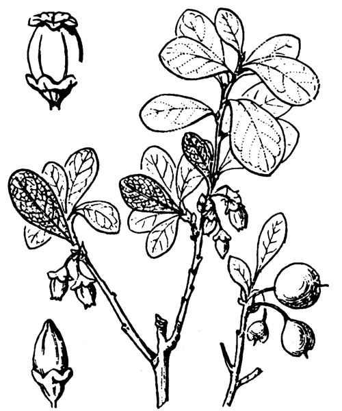 Vaccinium uliginosum L.