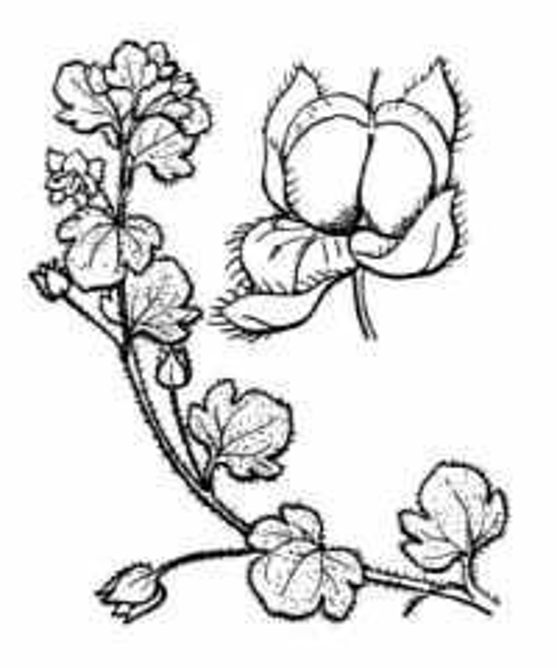 Veronica hederifolia L.