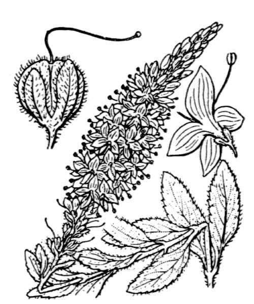 Veronica spicata L.