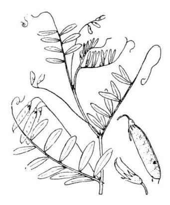 Ervum pubescens DC.