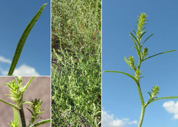Corispermum hyssopifolium L. group