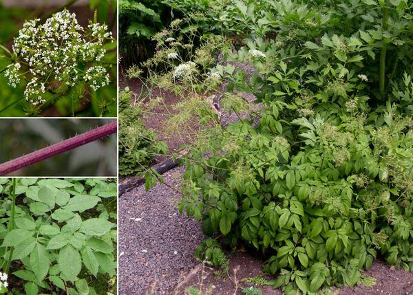 Chaerophyllum aromaticum L.