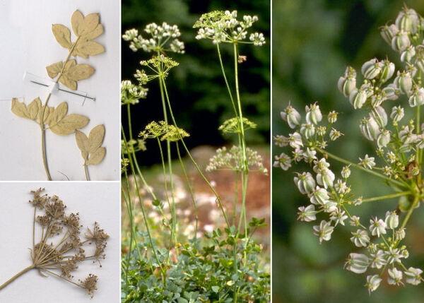 Siler montanum Crantz subsp. siculum (Spreng.) Iamonico, Bartolucci & F.Conti