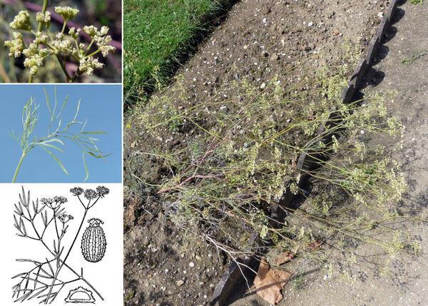 Seseli longifolium L. subsp. longifolium