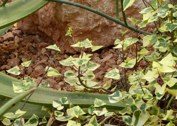 Senecio macroglossus DC.