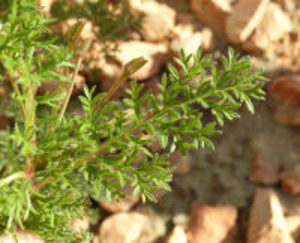 Pelargonium triste (L.) L'Her.
