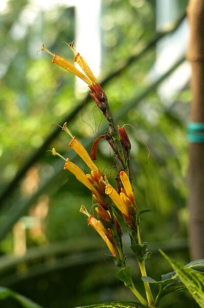 Sanchezia nobilis Hook.f.