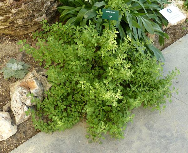 Salvia gariepensis E. Mey.