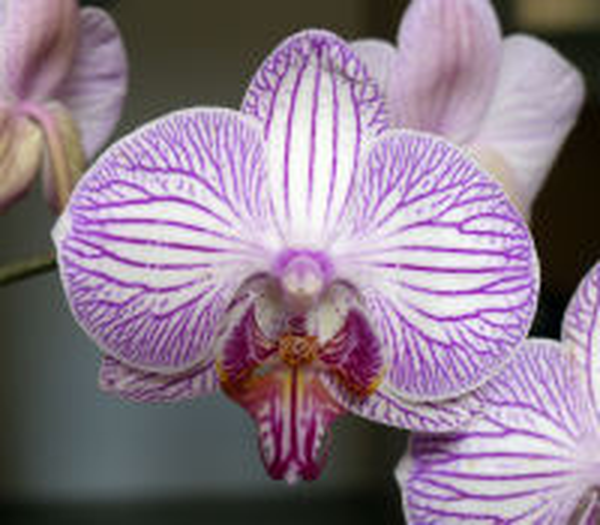 Phalaenopsis 'Leningrad'
